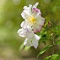 Rose, Rosa Luciae var. plena, バラ, ロサ ルキアエ プレナ, (17269229338).jpg