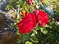 Rose1111.jpg