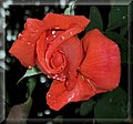 Rose (598769615).jpg