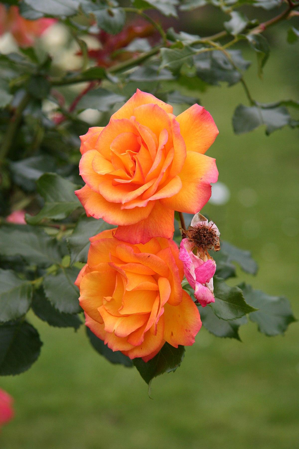 Rosa 'Sahara' - Wikimedia Commons