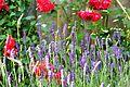 Roses and lavender.JPG