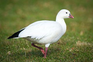 Rosss goose species of bird