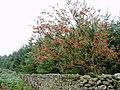 Rowan Tree - geograph.org.uk - 236961.jpg