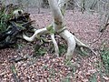 Rowan with eroded soil and stilt roots, Lainshaw Woods, Stewarton.jpg