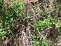 Rubus leucodermis 1.jpg