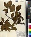 Rubus velox.jpg