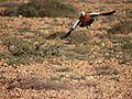 Ruddy Shelduck (Tadorna ferruginea), Tefia, Fuerteventura (5360077706).jpg