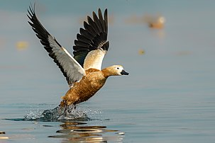 Rudy Shelduck taking Off.jpg