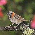 Rufous-collared sparrow (Zonotrichia capensis costaricensis).jpg