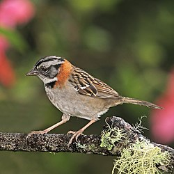 Rufous-collared sparrow (Zonotrichia capensis costaricensis).jpg