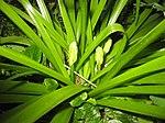 Ruhland, Grenzstr. 3, Spanisches Hasenglöckchen, weiß blühend, Knospen, Frühling, 01.jpg