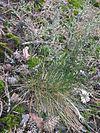 Ruig schapengras plant (Festuca ovina subsp. hirtula)