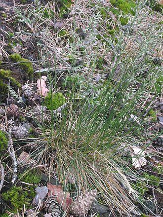 Festuca ovina - Image: Ruig schapengras plant (Festuca ovina subsp. hirtula)