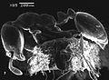 SEM of Monomorium sarawatensis paratype - ZooKeys-274-001-g006.jpeg