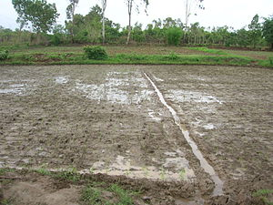System of Rice Intensification - Image: SRI planted field