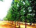 Sacred Fig Trees in Terai Nepal.jpg