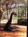 Sad giraffe.jpg