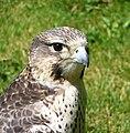 Saker Falcon (Falco cherrug) - geograph.org.uk - 1376620.jpg