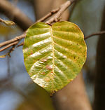 Sal (Shorea robusta)- old leaf at Jayanti, Duars W Picture 122.jpg