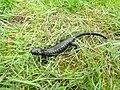 Salamandra lanzai08.jpg