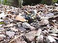 Salamandra rifugio Sauch 01.JPG