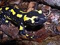 Salamandra salamandra terrestris04.jpg