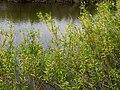 Salix triandra Stara Desna Zazymya.jpg