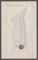 Salpa forskalii - - Print - Iconographia Zoologica - Special Collections University of Amsterdam - UBAINV0274 092 08 0002.tif