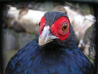 Salvadoris pheasant species of bird