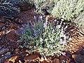 Salvia dorrii (04) - Flickr - andrey zharkikh.jpg