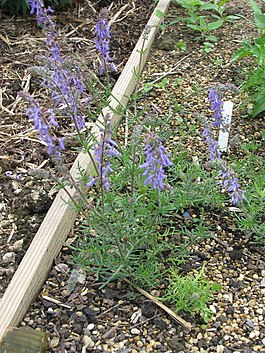 Salvia jurisicii - Flickr - peganum.jpg