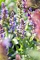 Salvia nemorosa Lubeca 1zz.jpg