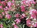 Samandağ çiçek 2.JPG