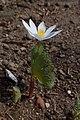 Sanguinaria canadensis kz03.jpg