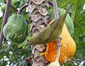 Sanhaço do coqueiro (Thraupis palmarum).jpg