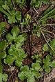 Sanicula crassicaulis 6730.JPG