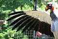 Sarcoramphus papa -Berlin Zoo -wing-8b.jpg