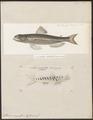 Saurus myops - 1700-1880 - Print - Iconographia Zoologica - Special Collections University of Amsterdam - UBA01 IZ14700137.tif