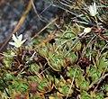 Saxifraga bronchialis subsp. funstonii var. rebunshirensis s5.jpg