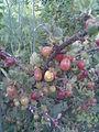 Saxifragales - Ribes uva-crispa 5 - 2011.07.17.jpg