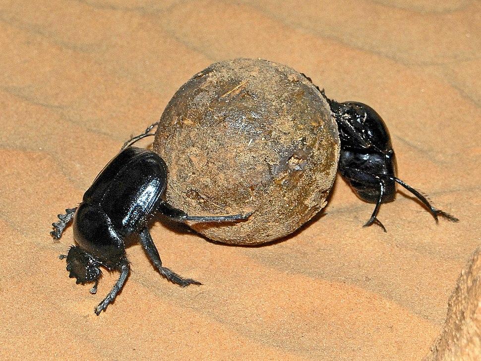 Scarabaeidae - Scarabaeus sacer