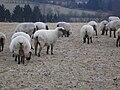 Schafe bei Kalterherberg im Winter.jpg