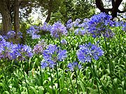 Schmucklilien Botanical Garden Funchal.JPG