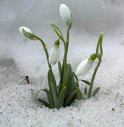 Une perce-neige (Galanthus nivalis) ayant percé la neige