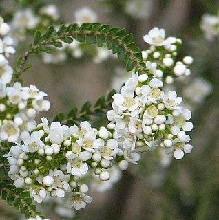 <i>Scholtzia</i> genus of plants