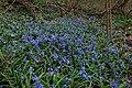 Scilla bifolia - синчец.jpg