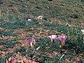 Sclerocactus parviflorus ssp macrospermus fh 69 02 UT location sego lily Calochortus nuttallii B.jpg