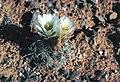 Sclerocactus wrightiae fh 69 75 UT B.jpg