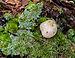 Scleroderma citrinum - earth ball - Kartoffelbovist - Boletales - Sclerodermatineae - 08.jpg