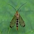 Scorpion fly (35972175812).jpg